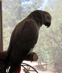 African Grey Parrot sleeping